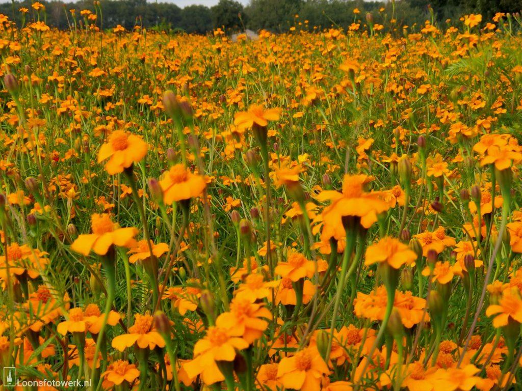 Oranje veld aan de Loonse Molenstraat