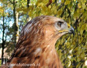 Vogel Vlucht, deel 2 – Arendbuizerd Dyami
