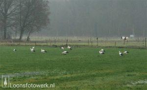 Ooievaars Noorderbos