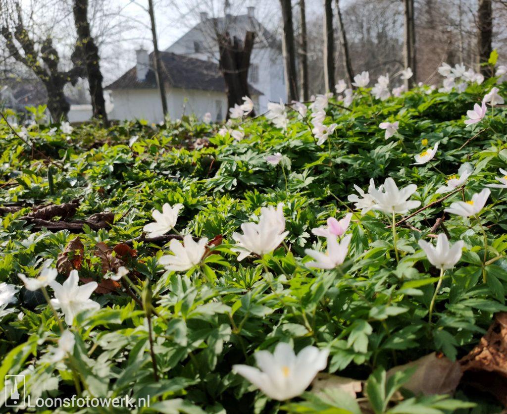 Anemonen Witte Kasteel