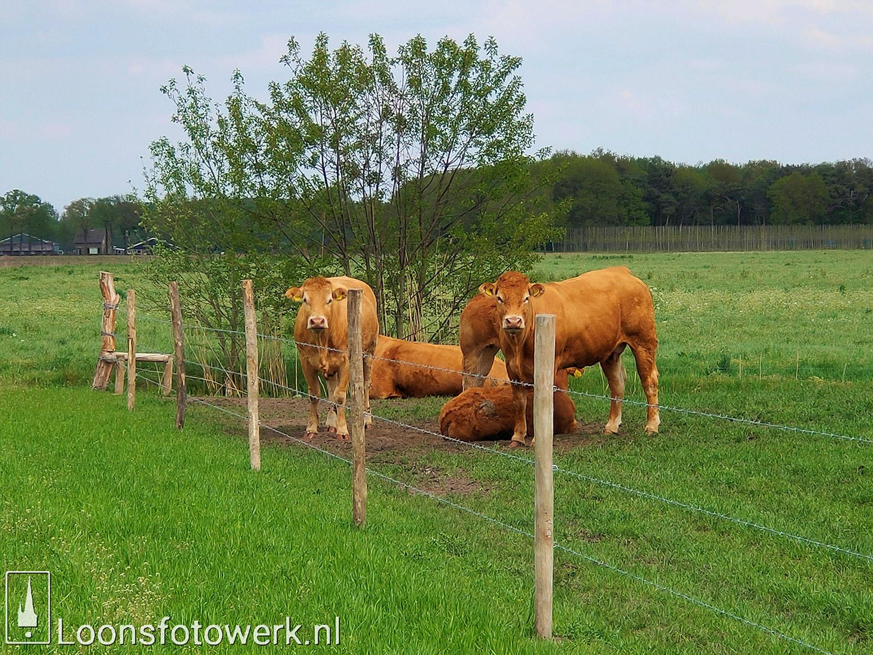 Vromans Limousin koeien Moleneind 3