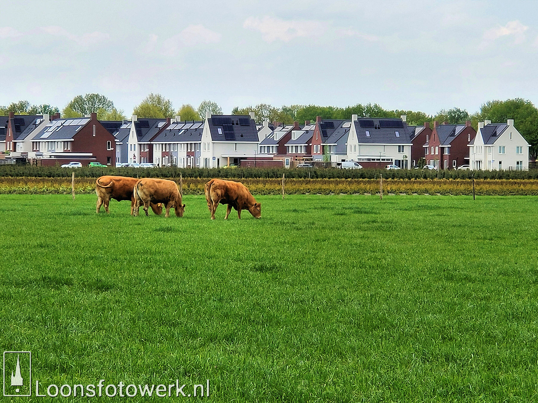 Vromans Limousin koeien Moleneind 9