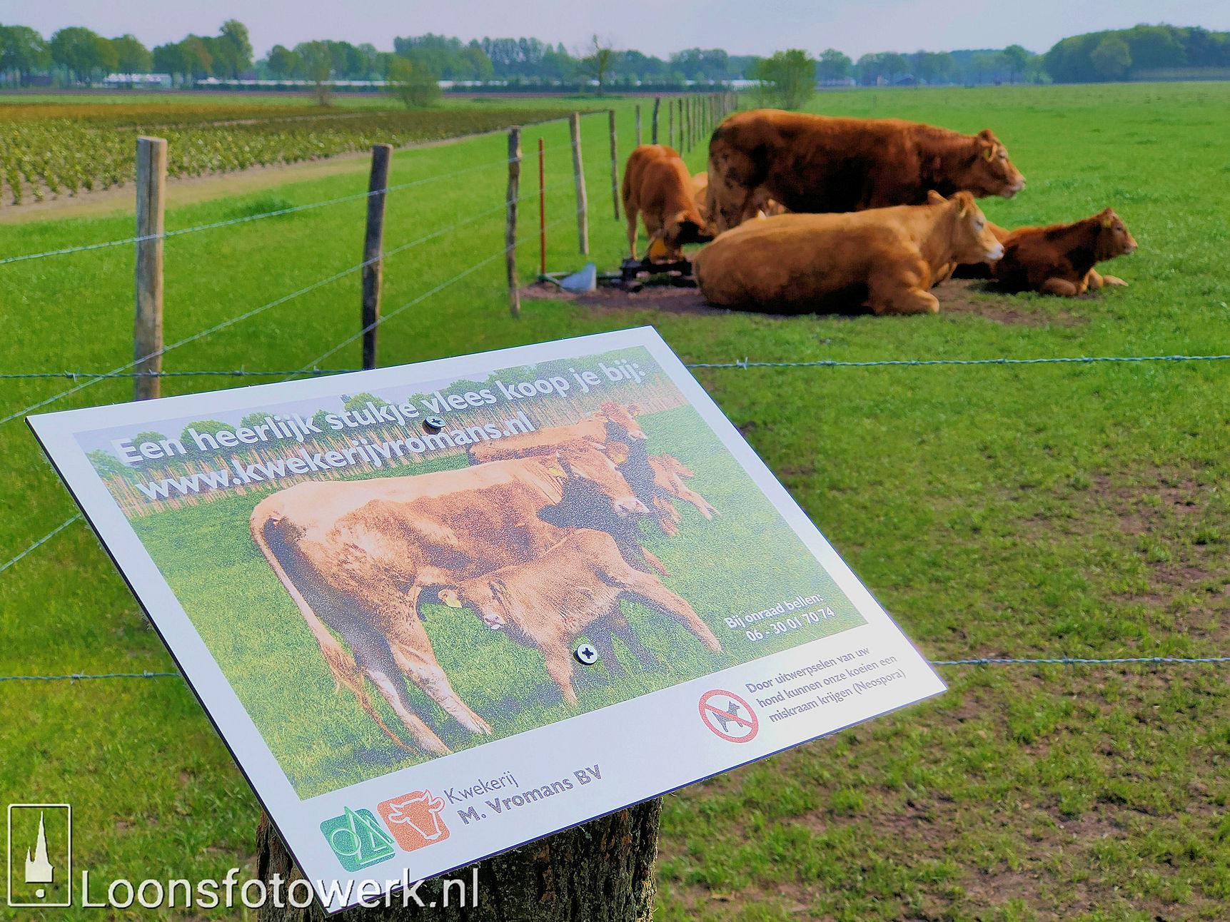 Vromans Limousin koeien Moleneind 1