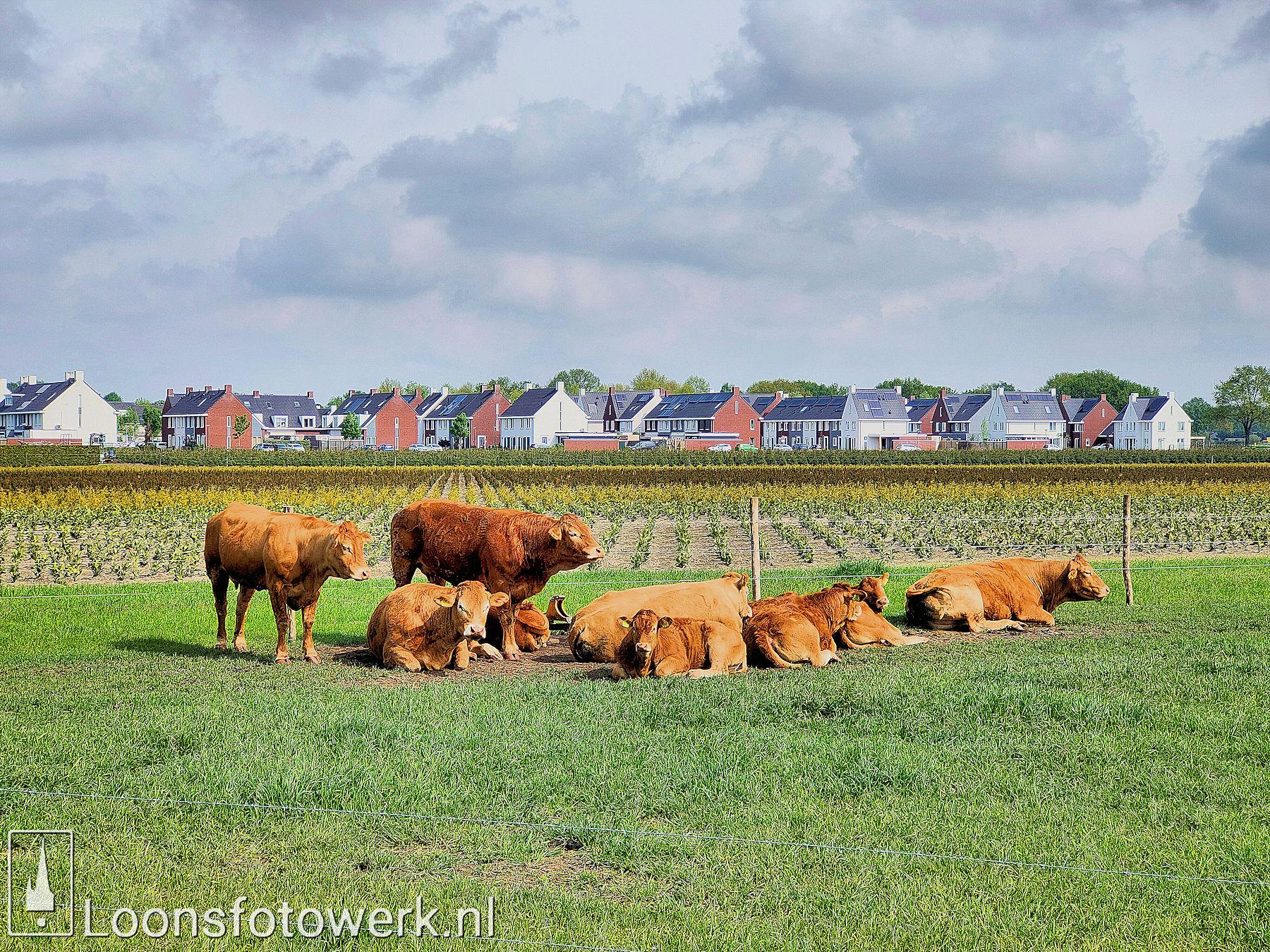 Vromans Limousin koeien Moleneind 10