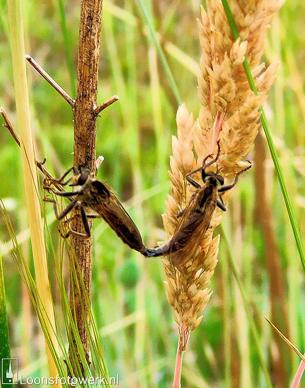 parende stekelpootroofvliegen