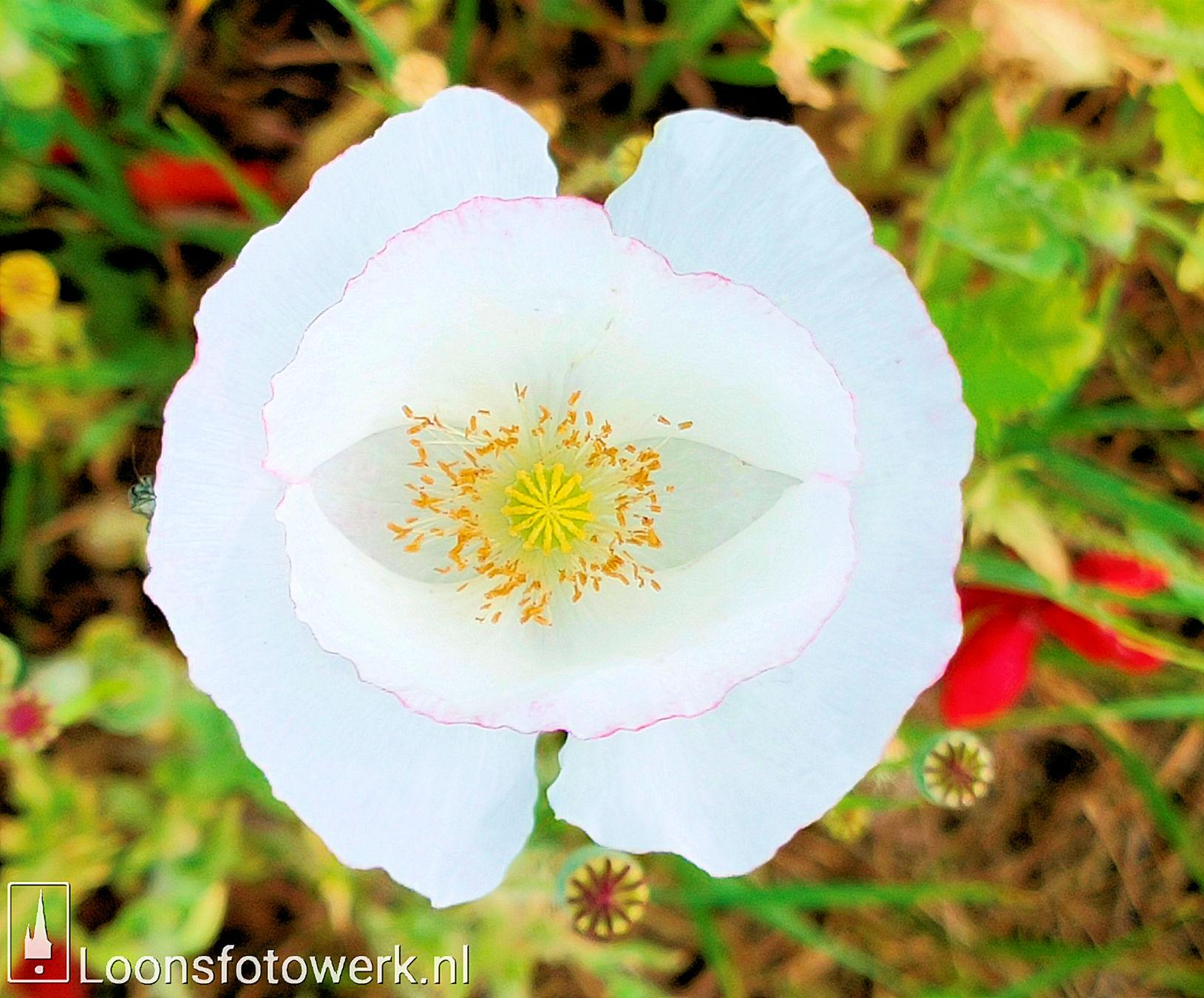 albino klaproos