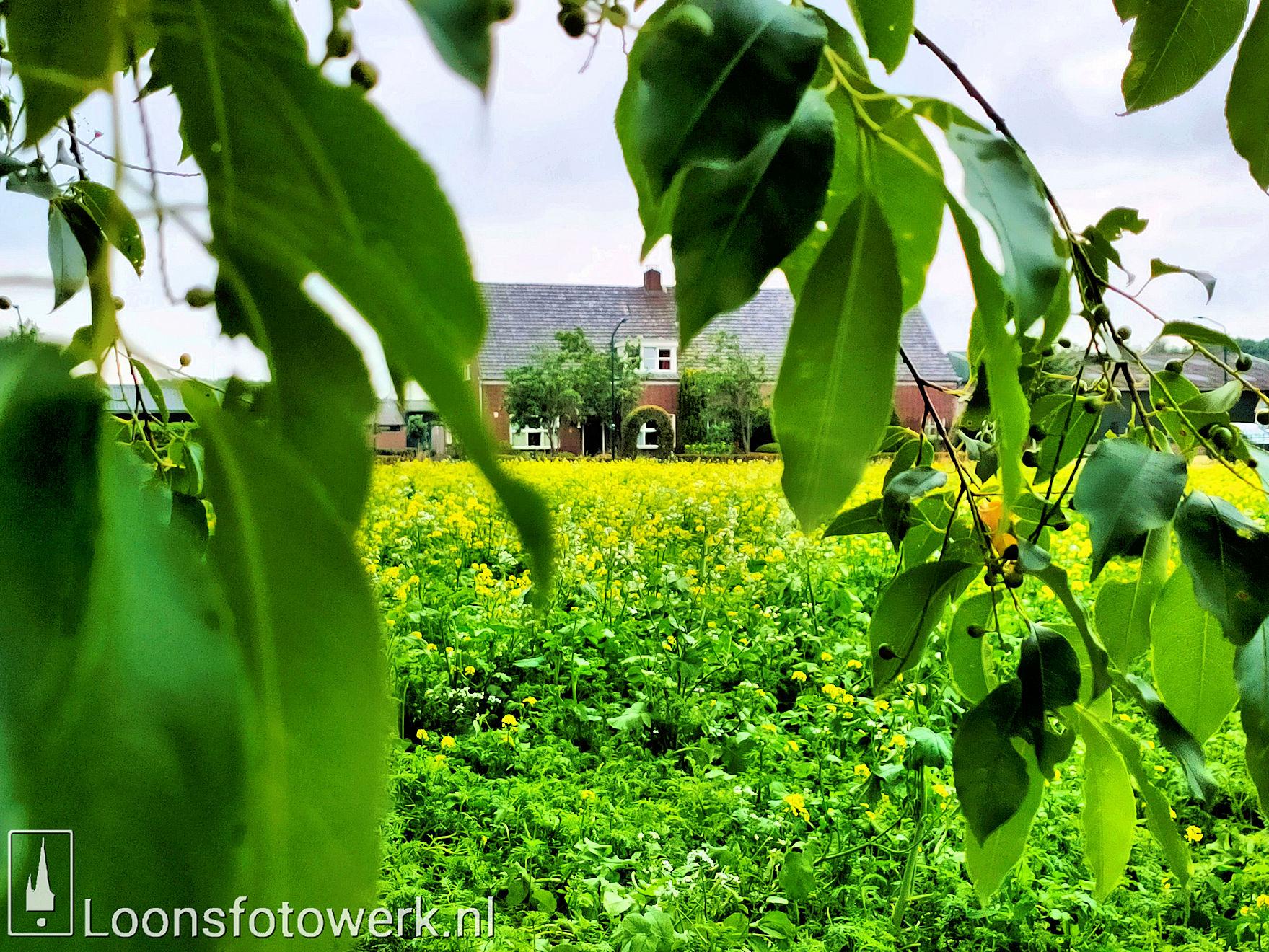 Wit en geel mosterdzaad aan de Bergstraat 10