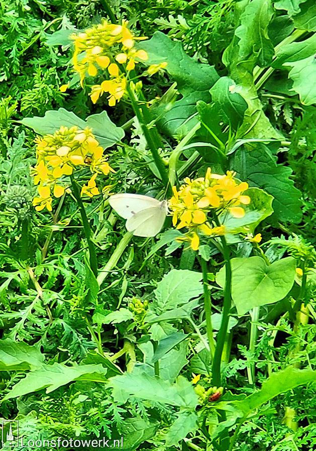 Wit en geel mosterdzaad aan de Bergstraat 14