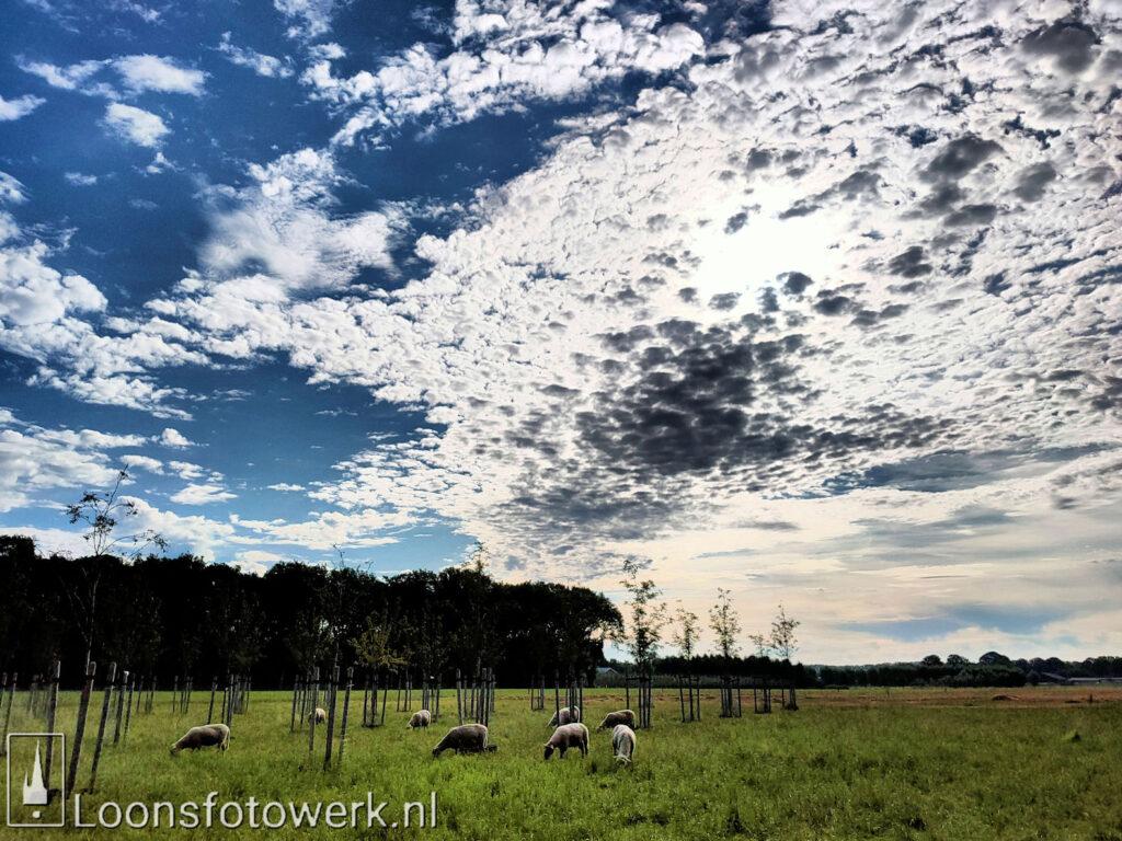 schapen en schapenwolken