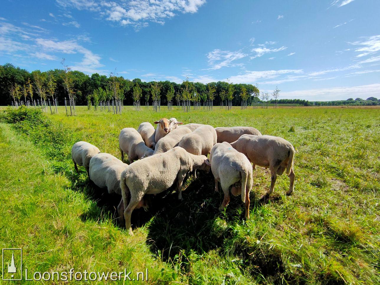Schapen en schapenwolken 1