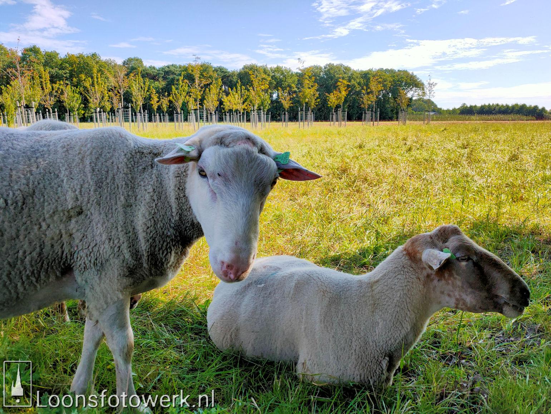 Schapen en schapenwolken 3