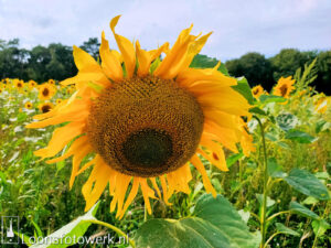 zonnebloemenveld Loonse Hoek