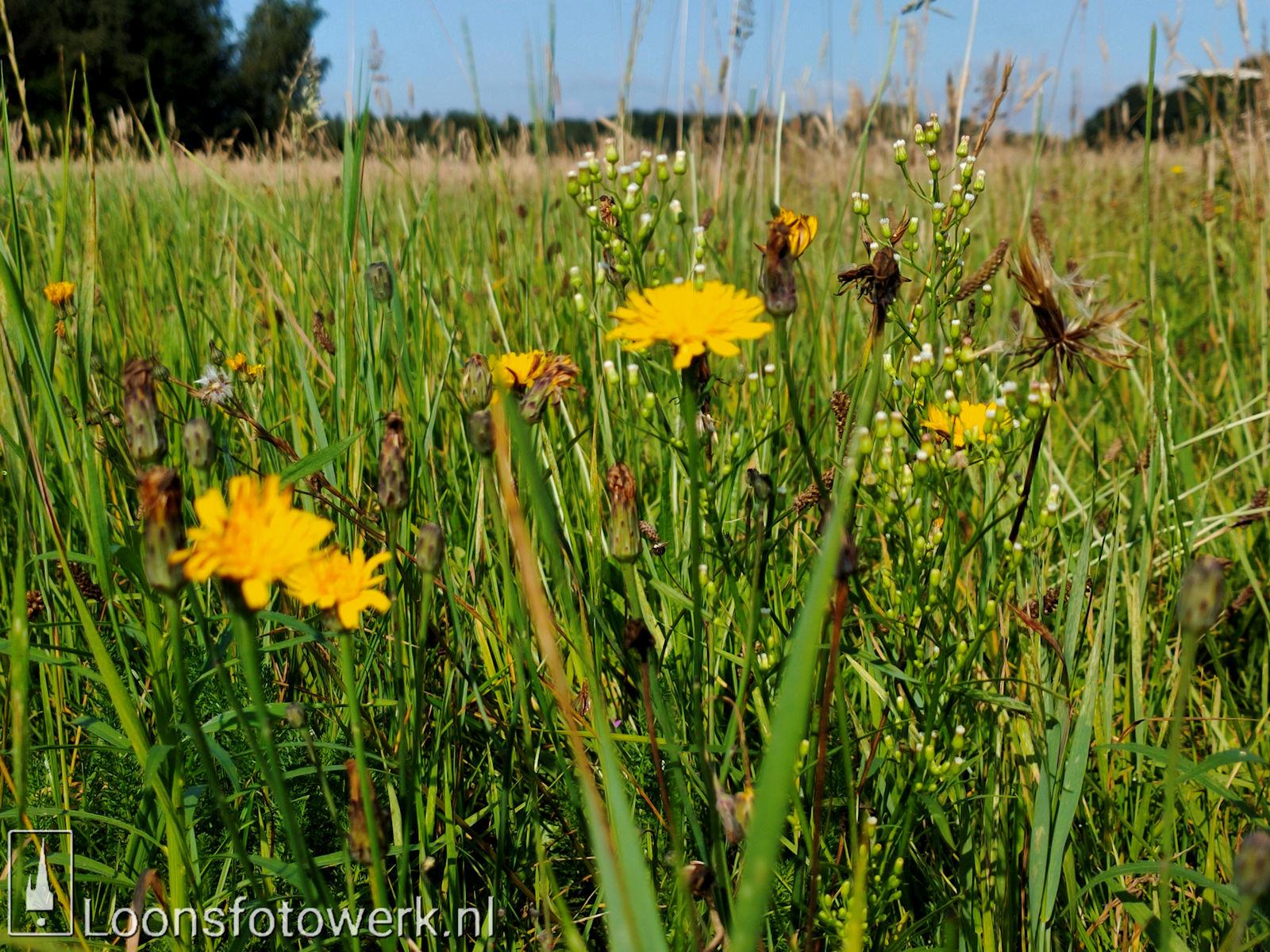Zonnebloemen Duiksehoef 3