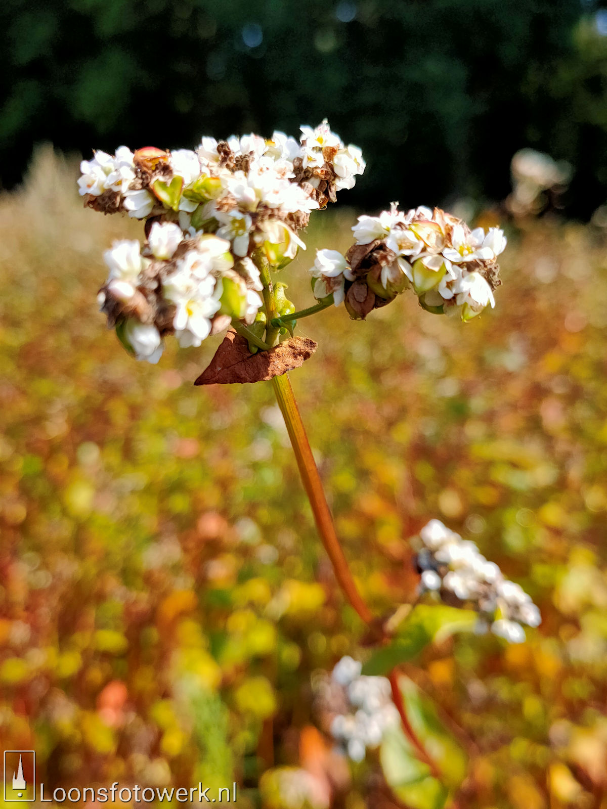 Zonnebloemen Duiksehoef 6