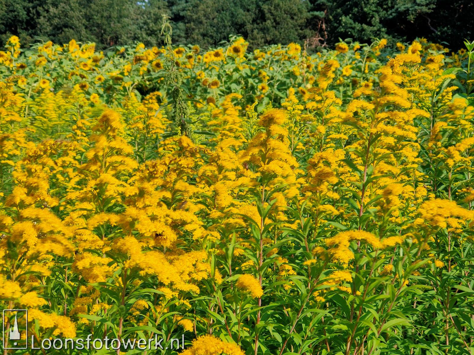 Zonnebloemen Duiksehoef 8