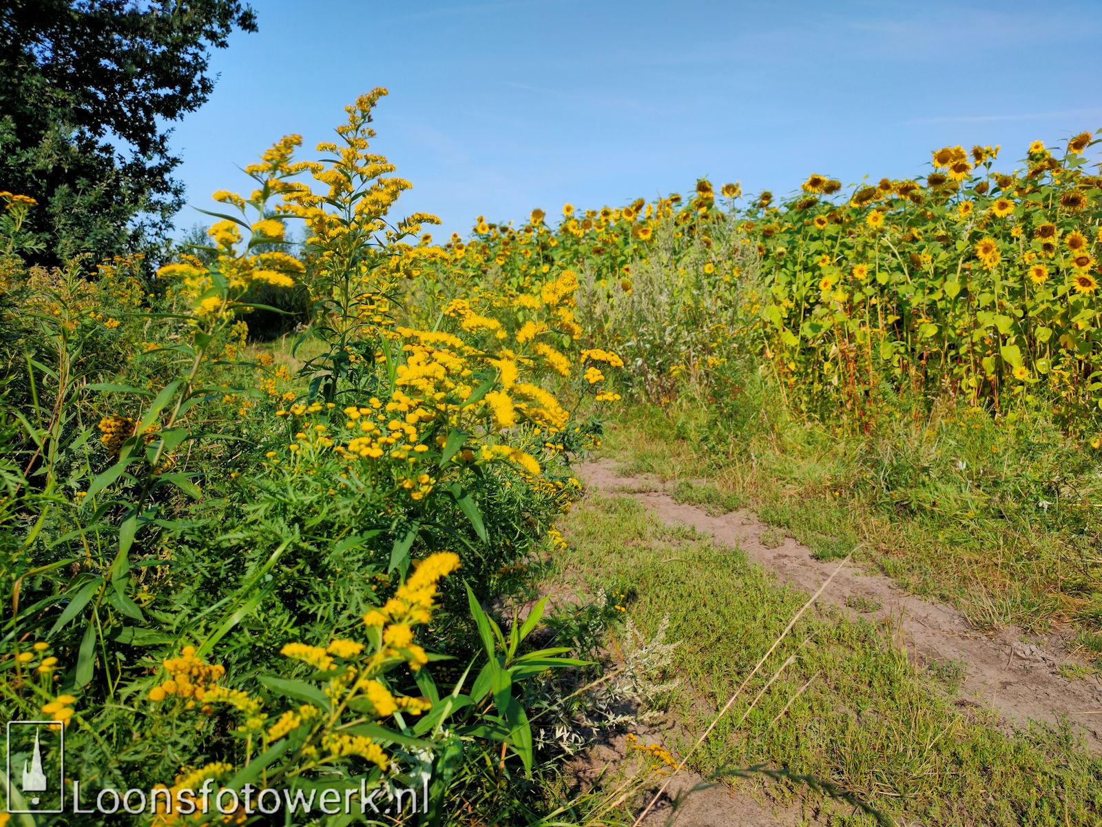 Zonnebloemen Duiksehoef 10