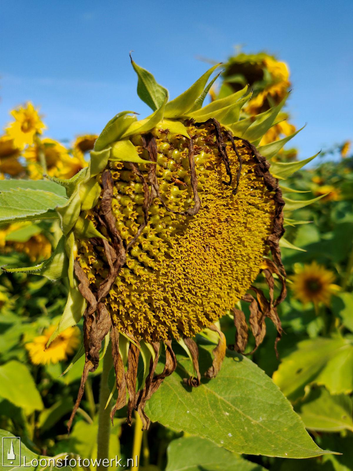 Zonnebloemen Duiksehoef 11