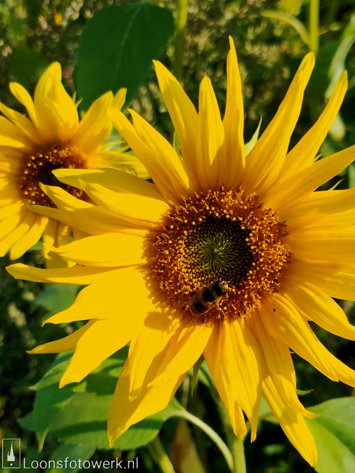 Zonnebloemen Duiksehoef 12