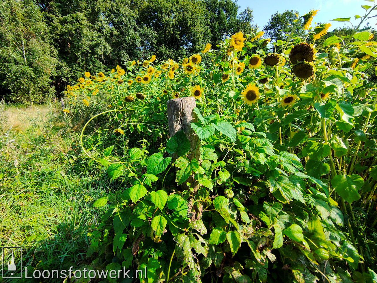 Zonnebloemen Duiksehoef 14