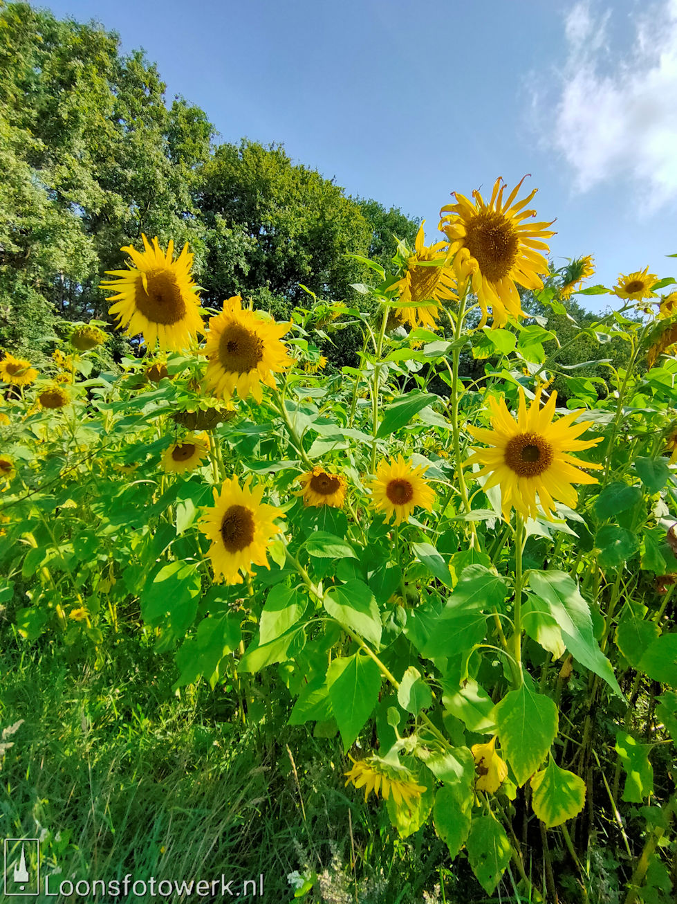zonnebloemen Duiksehoef
