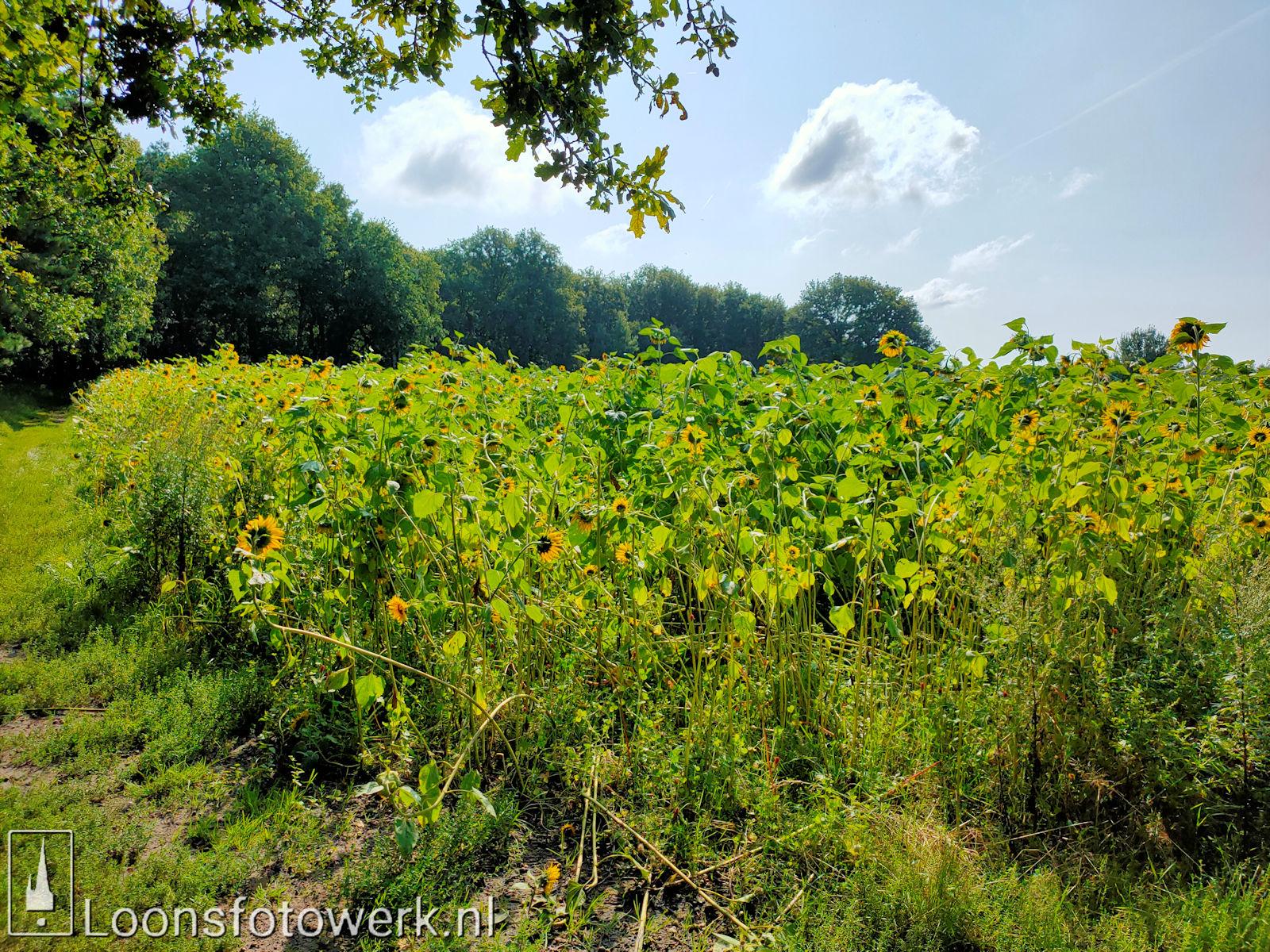 Zonnebloemen Duiksehoef 15
