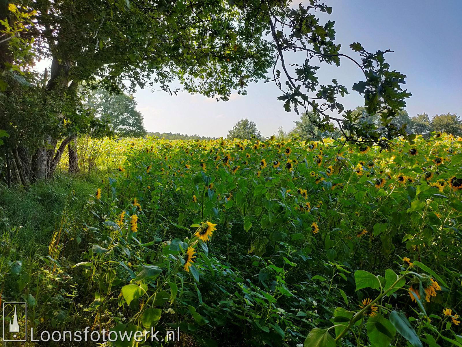 Zonnebloemen Duiksehoef 17