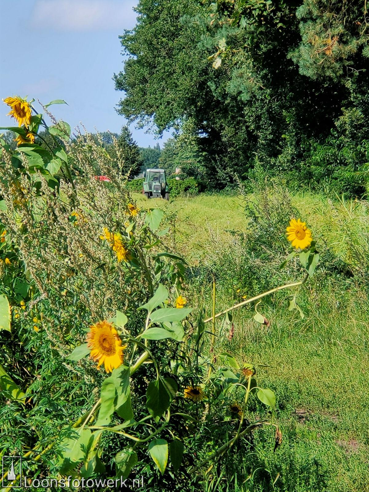 Zonnebloemen Duiksehoef 20