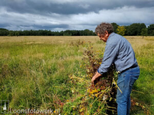 oogst boekweit