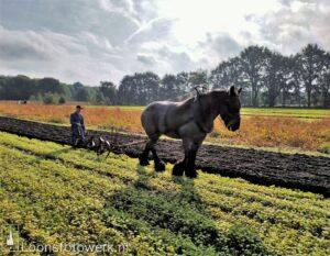 Ploegen met paarden Duiksehoef